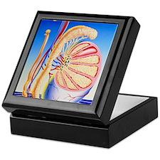 Illustration of vasectomy with struct Keepsake Box