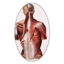 Muscles of the back Decal