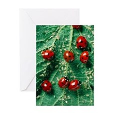 Ladybird beetles eating aphids on a  Greeting Card