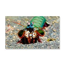 Mantis shrimp Car Magnet 20 x 12