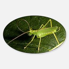 Male bush cricket Sticker (Oval)