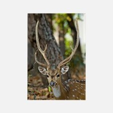 Male chital deer Rectangle Magnet