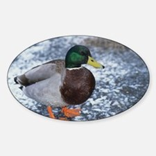 Mallard duck Decal