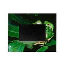 Mating green tree frogs Picture Frame