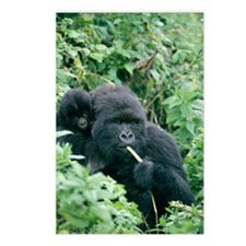 Mountain gorilla and infa Postcards (Package of 8)
