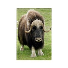 Muskox Rectangle Magnet