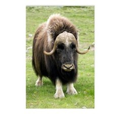 Muskox Postcards (Package of 8)