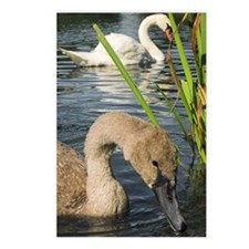 Mute swans Postcards (Package of 8)