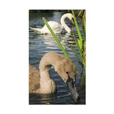 Mute swans Decal