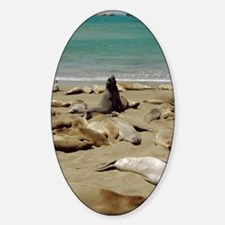 Northern elephant seals Decal