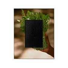 Chat (Catha edulis) Picture Frame