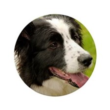 """Border collie with tongue out. 3.5"""" Button"""