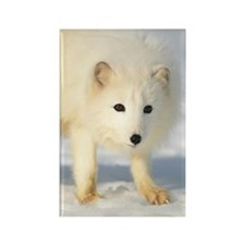 Arctic Fox Alopex lagopus, Montan Rectangle Magnet