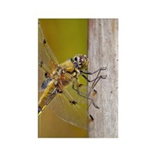 Four-spotted Chaser - Libellula q Rectangle Magnet