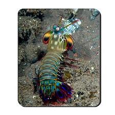 Peacock mantis shrimp Mousepad
