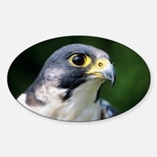 Peregrine falcon Sticker (Oval)