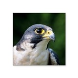 Peregrine falcon Gifts