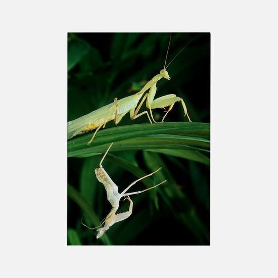 Praying mantis with its shed skin Rectangle Magnet