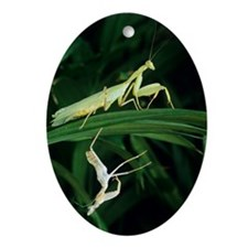Praying mantis with its shed skin Oval Ornament