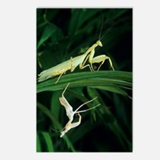 Praying mantis with its s Postcards (Package of 8)