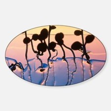 Cultured cress seedlings Sticker (Oval)
