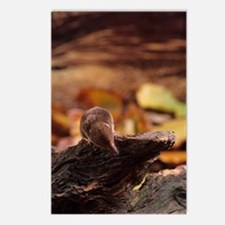 Pygmy shrew Postcards (Package of 8)
