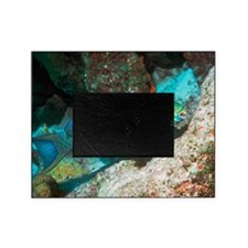 Queen parrotfish Picture Frame