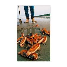 Razor clams dug up on a beach Decal