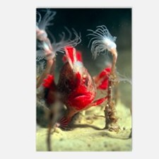 Red handfish Postcards (Package of 8)