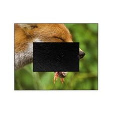 Red fox eating a chick Picture Frame