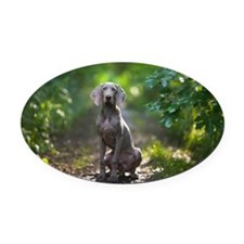 Weimaraner Canis familiaris on pat Oval Car Magnet