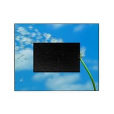 Dandelion Taraxacum sp.seeds blowing Picture Frame