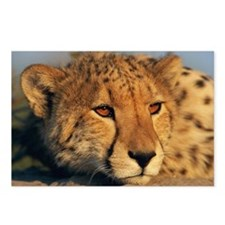 Cheetah Acinonyx jubatus, Postcards (Package of 8)