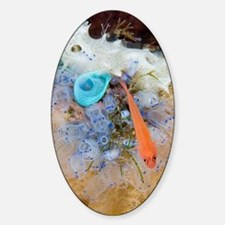 Ring-eye pygmy goby Decal