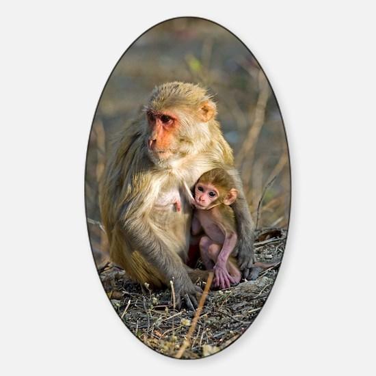 Rhesus monkeys Sticker (Oval)