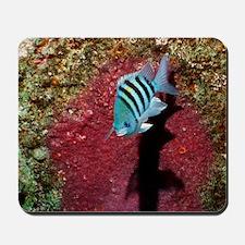 Sergeant major fish guarding its eggs Mousepad