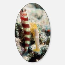 Shrimp goby with its partner shrimp Decal