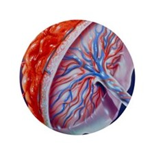 """Illustration of the human placenta 3.5"""" Button"""