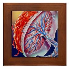 Illustration of the human placenta Framed Tile