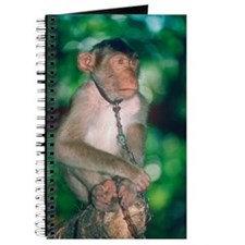 Southern pig-tailed macaque Journal