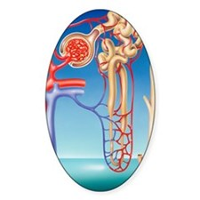 Kidney filtration system Decal