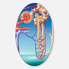 Kidney filtration system Sticker (Oval)