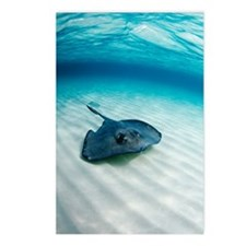 Southern stingray Postcards (Package of 8)