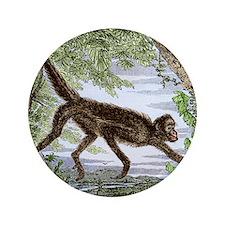 """Spider monkey, historical artwork 3.5"""" Button"""