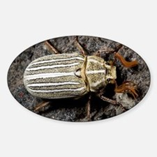 Ten-lined June beetle Decal