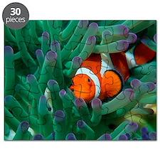 Western clown anemonefish Puzzle
