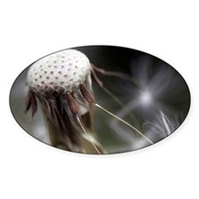 The last seeds of a dandelion getti Decal