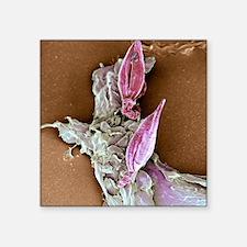 "Protozoan infecting macroph Square Sticker 3"" x 3"""