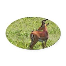 impala buck with oxpeckers kenya c Oval Car Magnet