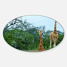 rothschild giraffe pair at soysambu Sticker (Oval)